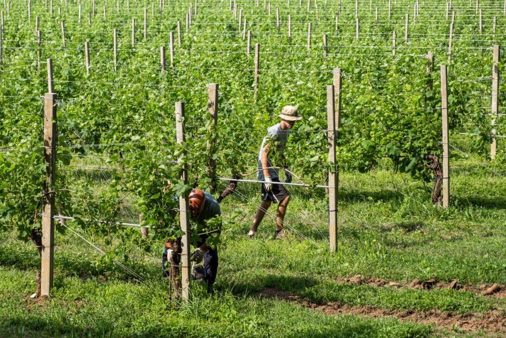 I viticoltori di Cantina Barchessa Loredan alle prese con la cura e la manutenzione dei filari a Selva del Montello.
