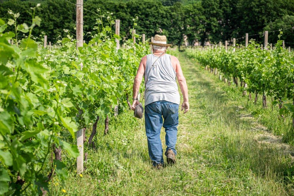 Viticoltore di spalle cammina lungo un filare IGT Colli Trevigiani durante le attività di manutenzione del vigneto.