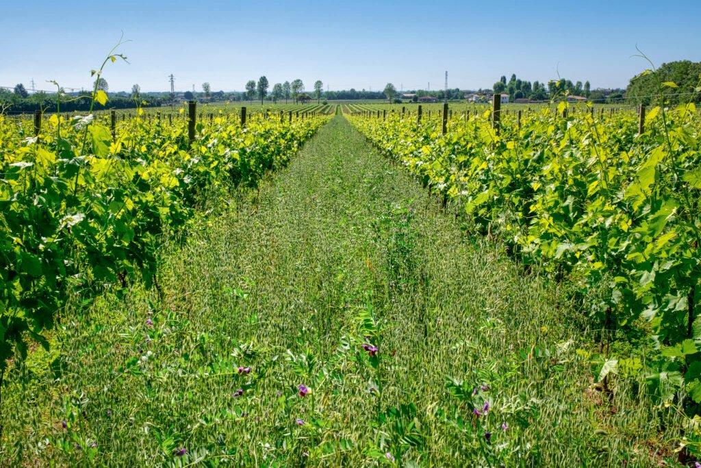 L'erba alta migliora la varietà di flora e fauna del vigneto.