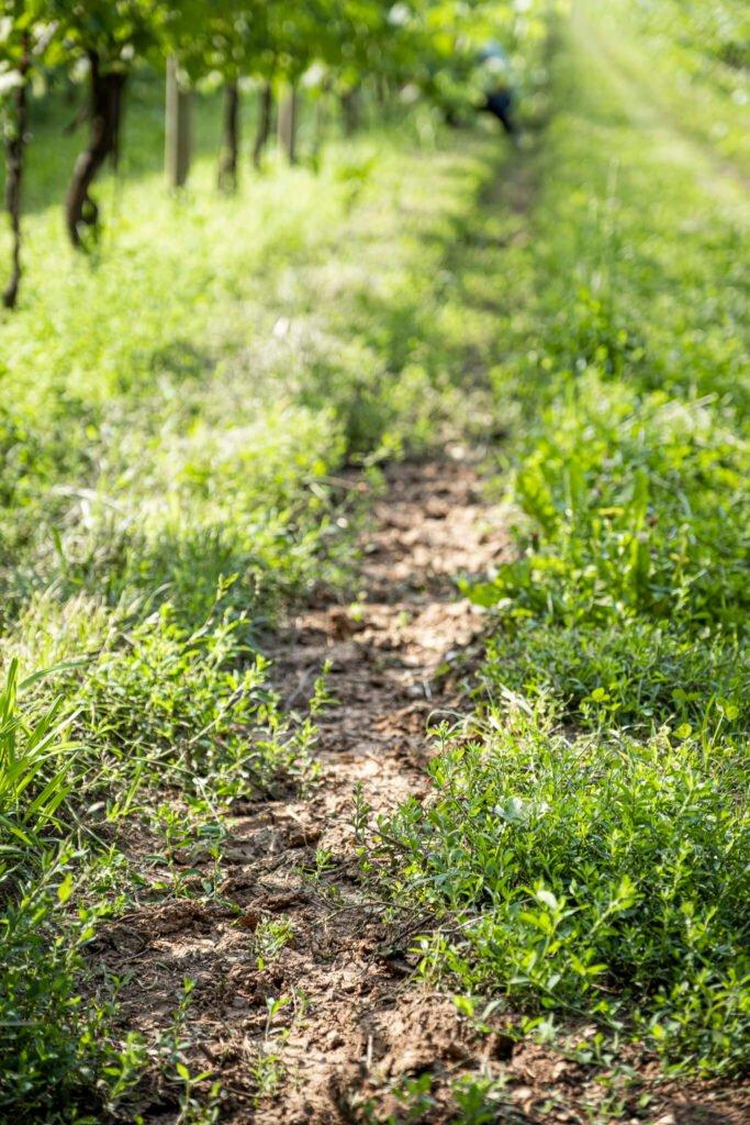 Il solco lasciato dal transito dei mezzi agricoli tra i filari di uve IGT Colli Trevigiani di Cantina Barchessa Loredan sul Montello.